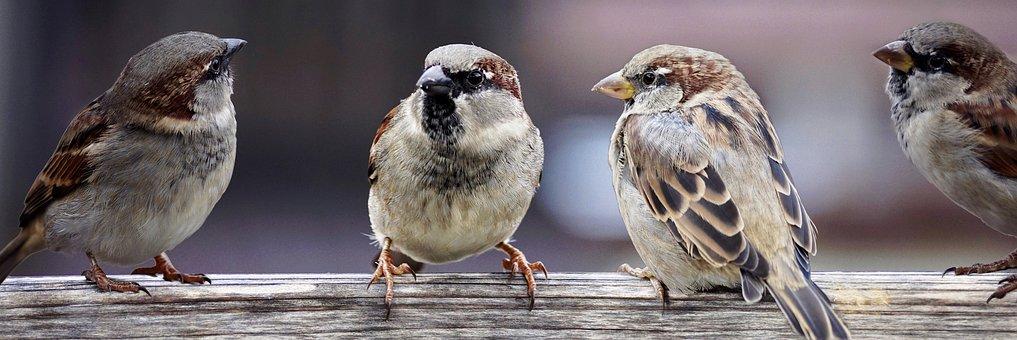 sparrows-2759978__340