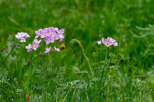 cuckoo-flower-3330011__340